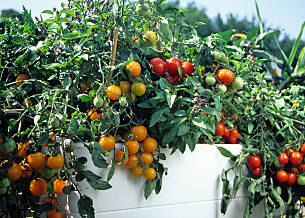 Tomate 'Tumbling Tom Red' und 'Yellow'