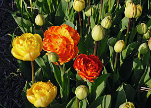 BIO-Tulpe Beauty Rose of Apeldoorn