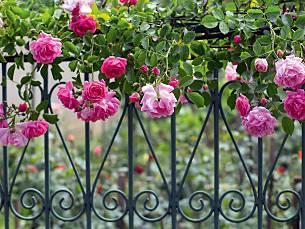 Klettergerüste Für Rosen : Rosentipp rosen schneiden querbeet br fernsehen
