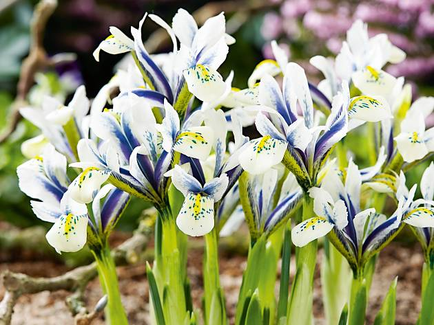 Zwerg-Iris 'Eye Catcher'