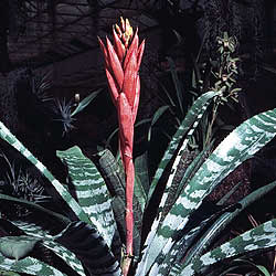 bromelien trichterpflanzen der tropen februar 2005 familienheim und garten. Black Bedroom Furniture Sets. Home Design Ideas