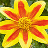 Toller Blickfang: Bidens 'TakaTuka® Yellow Red Star'